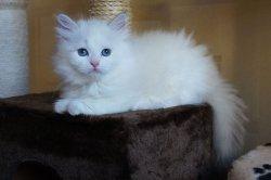 Гала Царь-Кошка