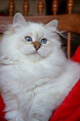 Кира Царь-Кошка