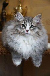 Соломон Царь-Кошка