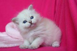 Шаббатка Царь-Кошка