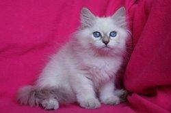 Че Царь-Кошка