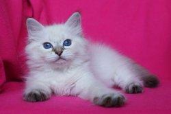 Месси Царь-Кошка
