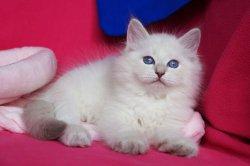 Чуб Царь-Кошка (Пончик)