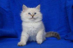 Эммануэль Царь-Кошка (Смок)
