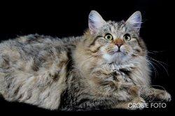 Вера Царь-Кошка в питомнике