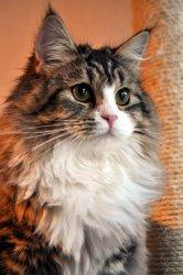 Ведунья Царь-Кошка в Cattery
