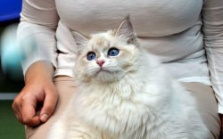 Аглая Царь-Кошка в Chatterie de koryaks