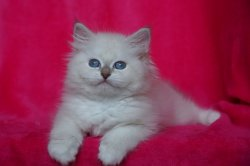 Икона Царь-Кошка